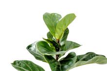Home Plant Green Leaf Ficus Benjamina, Elastica On A White Background