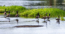 Gaggle Of Canada Geese On Shor...