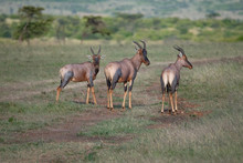 Small Group Of Topi Antelopes ...