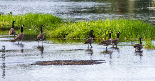 Fotografia, Obraz Gaggle of Canada Geese on shore at the Benton Watershed in New Brunswick, Canada