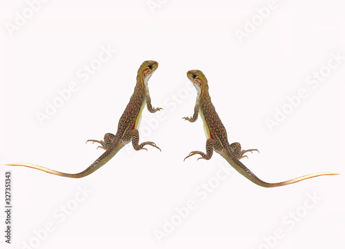 lizard isolated on white background Fototapet