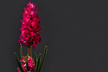 Pink Blooming Hyacinth In A Po...