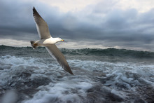 Sea Gull And Stormy Sea