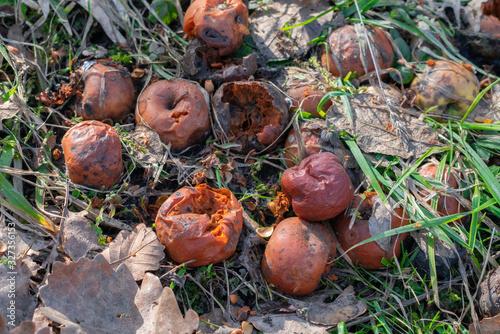 Valokuvatapetti Rotten apples in the garden