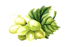 Green Sultana Grapes With Green Leaf. Hand Drawn Watercolor Horizontal  Illustration  Isolated On White Background