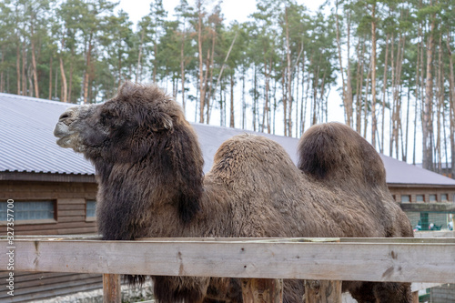 Large two-humped brown camel in the corral in winter Canvas Print