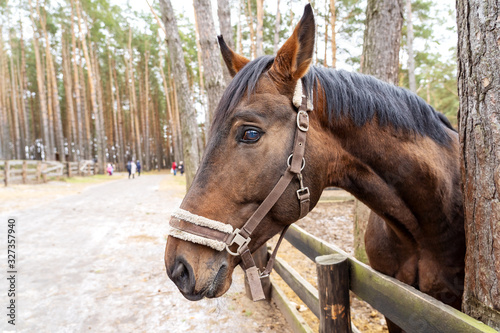 Fototapeta A brown horse peeks out from behind a wooden fence near the trees. An animal with a white bridle in the forest on the street in the corral. The horse looks forward with a proud look with raised ears.  obraz