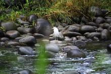 Little Blue Heron Juvenile Sta...