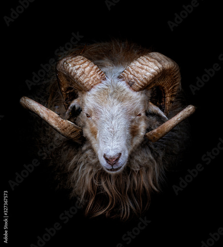 Photo Ram with big and curved horns on a black background