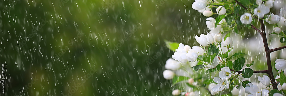 Fototapeta spring flowers rain drops, abstract blurred background flowers fresh rain
