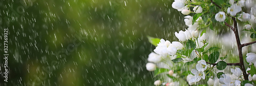 Obraz spring flowers rain drops, abstract blurred background flowers fresh rain - fototapety do salonu