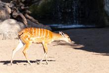 Valencia, Spain,3,6,2014: Sitatunga Antelope At The Bioparc In Valencia