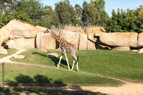 Photo Valencia, Spain,3,6,2014: African Giraffes at the Bioparc in Valencia