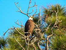 Bald Eagle Perched In A Tree I...