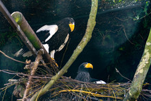 Stellar Sea Eagles On A Nest