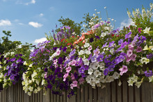 Colorful Petunias On A Fence