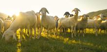 LOW ANGLE, PORTRAIT: Lambs Gra...