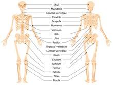 Human Anatomical Skeleton Info...