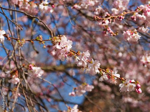 Photo (Prunus Accolade) Cerisier à fleurs du Japon accolade aux rameaux souples étalés