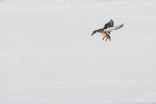 A Lone Duck Lands On The Snow. Wild Duck Observation In Winter In Nature