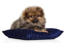 Tiny Pomeranian Puppy On Dark ...