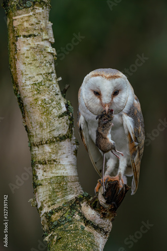 Fotomural Beautiful Barn owl (Tyto alba) eating a mouse (prey) at dusk