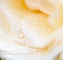 Rose Flower Macro Shot , Natur...
