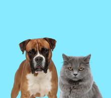 Dutiful Boxer Looking Forward Beside British Long Hair Cat
