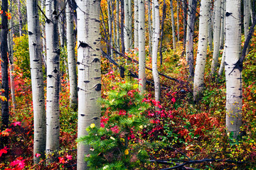 Panel Szklany Podświetlane Brzoza Colorful aspen grove in the Wasatch Mountains, Utah, USA.