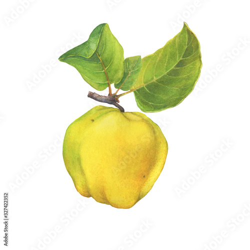 Ripe yellow quince (cytonia) fruit with green leaves Poster Mural XXL