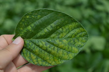Isolated Soybean Leaf Showing Disease Symptom Caused By Fungal Infection