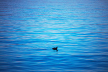 Little Duck Swimming On Blue R...
