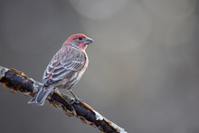 Male House Finch Perched On Limb