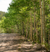 A Shady, Dirt Path Flanked By Aspen Trees.