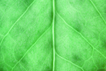 Green Tropical Leaf Close Up, Nature Concept, Natural Background