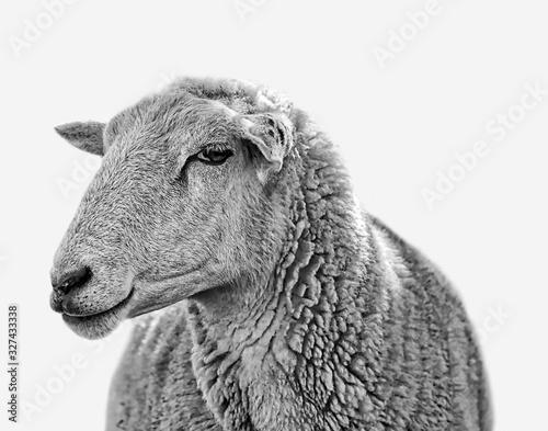 Fotomural A fluffy black and white cute farm yard sheep