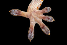 Close-up Of The Sole Of A Tokay Gecko Foot, Indonesia
