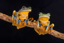 Two Frogs On A Branch, Indonesia