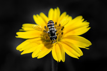 Close-up Of A Bee On A Yellow Flower, Indonesia