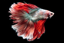 """Beautiful Colors""""Halfmoon Betta"""" Capture The Moving Moment Beautiful Of Siam Betta Fish In Thailand On Black Background"""