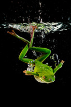 White-lipped Tree Frog Diving Into Water, Indonesia