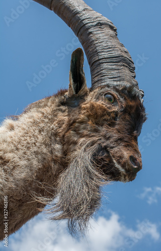 Wild  mountain goat with two huge horns Canvas Print