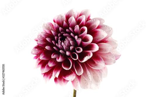 Slika na platnu Growing dahlia flower