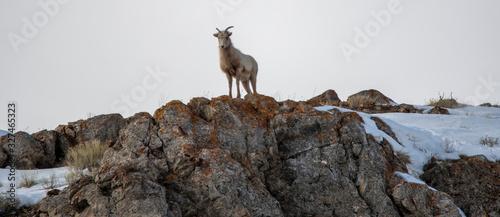 Bighorn Sheep on a rocky ledge in the National Elk Refuge near Jackson Hole Wyom Wallpaper Mural