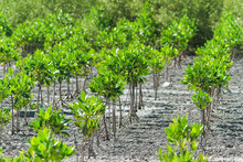 Mangrove Seedlings (Rhizophora...