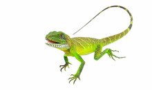 Green Lizards.Chinese Water Dr...