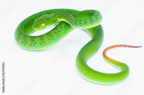 Green viper snake. Canvas Print