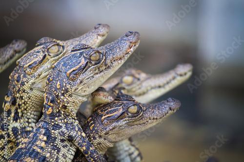 Baby crocodiles. Hybrid crocodile. Fototapet