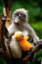 Dusky Leaf Monkey In Thailand National Park