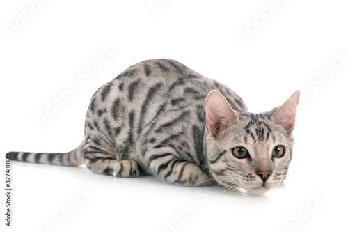Fototapeta bengal cat in studio obraz
